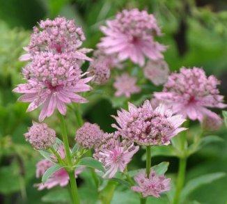 Astrantia major 'Pink Pride' Zeeuws knoopje
