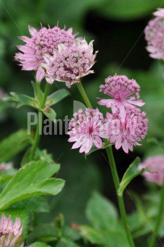Astrantia major 'Pink Pride' | Zeeuws knoopje
