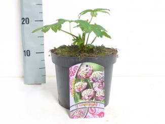 Astrantia major 'Primadonna' | Zeeuws knoopje (Ø 17cm pot)
