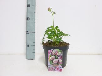 Astrantia major 'Primadonna'   Zeeuws knoopje (Ø 17cm pot)