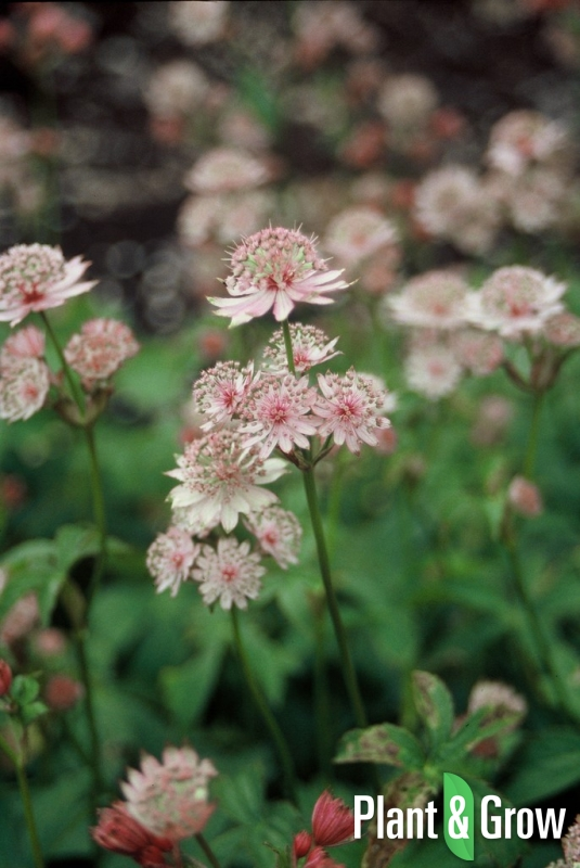 Astrantia major | Zeeuws knoopje