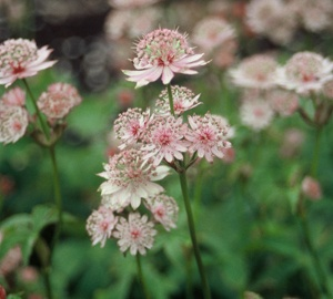 Astrantia major Zeeuws knoopje