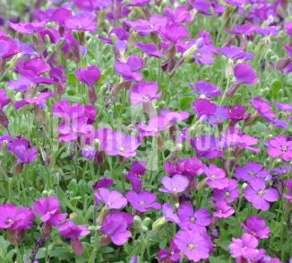 Aubrieta 'Cascade Purple'