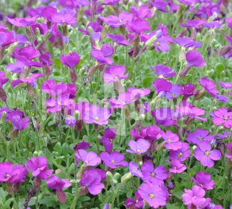 Aubrieta 'Cascade Purple' Blauwkussen