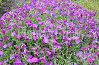 Aubrieta 'Cascade Purple' | Blauwkussen