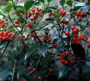 Aucuba japonica 'Rozannie' Broodboom