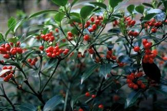 Aucuba japonica 'Rozannie' | Broodboom