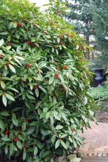 Aucuba japonica 'Variegata' | Broodboom