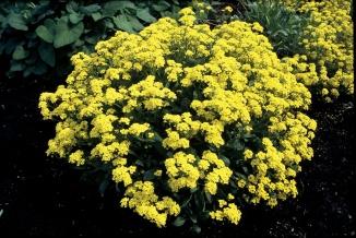 Aurinia saxatilis | Schildzaad
