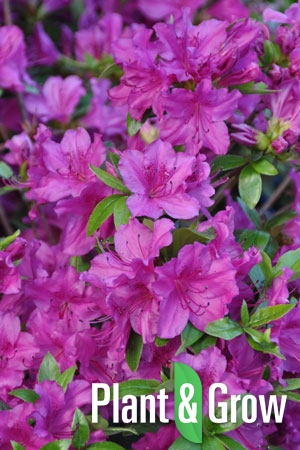 Azalea (J) 'Blaue Donau' | Japanse azalea