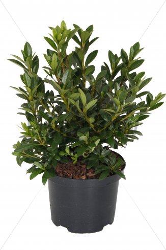 Azalea (J) 'Blaue Donau'   Japanse azalea (Ø 17cm pot)