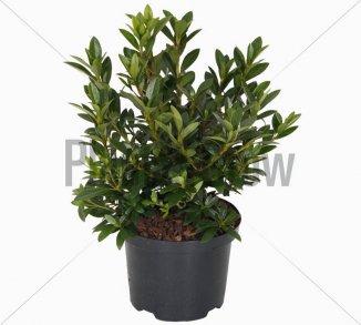 Azalea (J) 'Blaue Donau'   Japanse azalea (Ø 17cm pot) - ZOMER