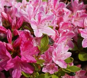 Azalea (J) 'Kermesina' Japanse azalea