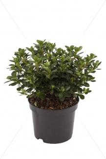 Azalea (J) 'Kermesina' | Japanse azalea (Ø 17cm pot) - ZOMER