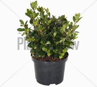 Azalea (J) 'Moederkensdag' | Japanse azalea (Ø 17cm pot) - ZOMER