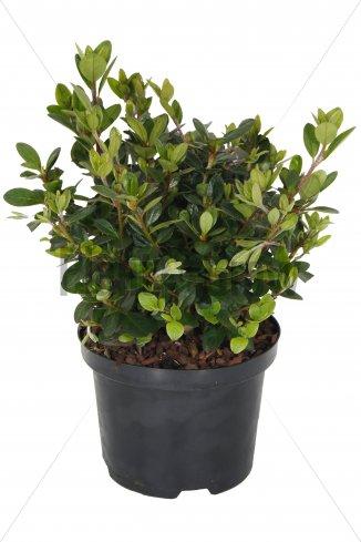 Azalea (J) 'Moederkensdag' | Japanse azalea (Ø 17cm pot)