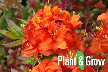 Azalea (J) 'Orange Beauty' | Japanse azalea