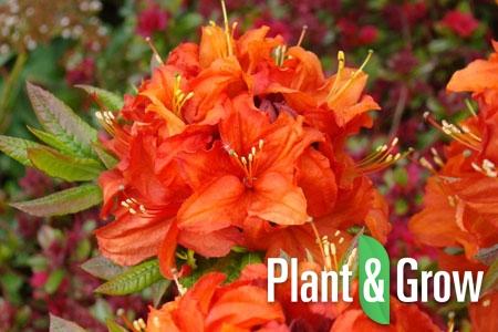 Azalea (J) 'Orange Beauty'   Japanse azalea