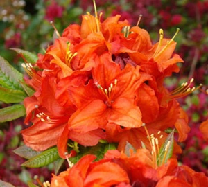 Azalea (J) 'Orange Beauty' Japanse azalea