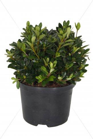 Azalea (J) 'Orange Beauty'   Japanse azalea (Ø 17cm pot)