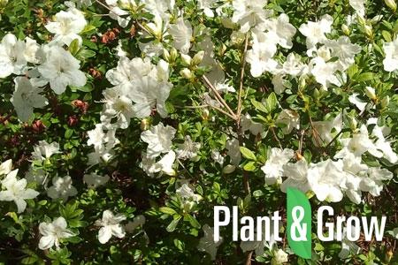 Azalea (J) 'Pleasant White' | Japanse azalea