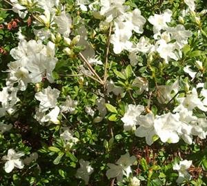 Azalea (J) 'Pleasant White' Japanse azalea