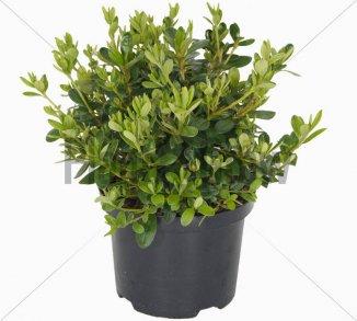 Azalea (J) 'Pleasant White' | Japanse azalea (Ø 17cm pot) - ZOMER