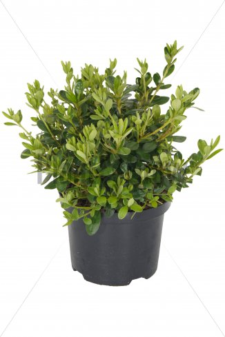 Azalea (J) 'Pleasant White' | Japanse azalea (Ø 17cm pot)