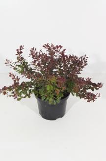 Berberis thunbergii 'Atropurpurea Nana' | Zuurbes (Ø 17cm pot)