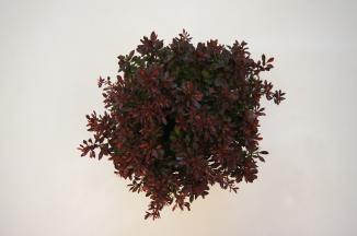 Berberis thunbergii 'Bagatelle' | Japanse zuurbes (Ø 17cm pot)