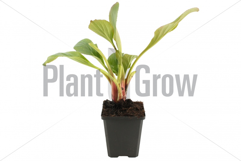 Bergenia cordifolia 'Bressingham White' | Schoenlappersplant (pot 9x9cm)