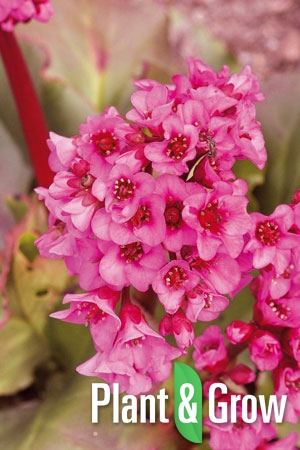Bergenia cordifolia 'Rotblum' | Schoenlappersplant