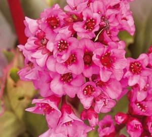 Bergenia cordifolia 'Rotblum' Schoenlappersplant