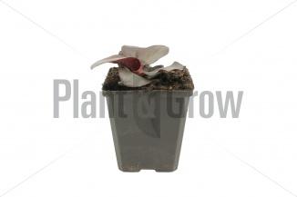 Bergenia cordifolia 'Rotblum' | Schoenlappersplant (pot 9x9cm) - VOORJAAR
