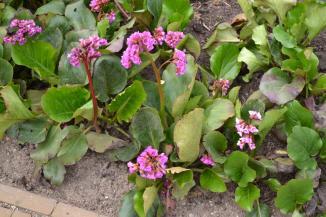 Bergenia cordifolia | Schoenlappersplant