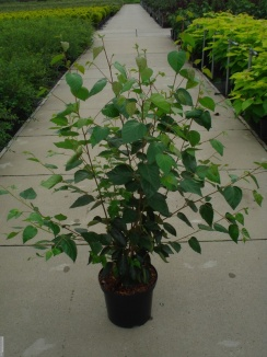 Betula utilis 'Doorenbos' | Himalayaberk (12L pot) - Struikvorm