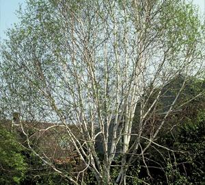 Betula utilis 'Doorenbos' Himalayaberk