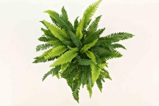 Blechnum spicant | Dubbelloof (Ø 17cm pot)