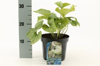 Brunnera macrophylla 'Jack Frost' | Kaukasisch vergeet-mij-nietje (Ø 17cm pot)
