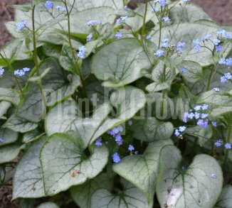Brunnera macrophylla 'Jack Frost' Kaukasisch vergeet-mij-nietje