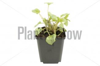Brunnera macrophylla 'Jack Frost' | Kaukasisch vergeet-mij-nietje (pot 9x9cm) - VOORJAAR