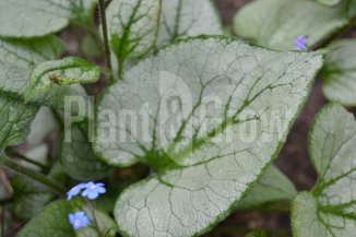 Brunnera macrophylla 'Jack Frost' | Kaukasisch vergeet-mij-nietje