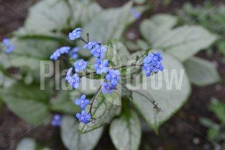 Brunnera macrophylla 'Jack Frost' | Kaukasisch vergeet-mij-nietje in bloei