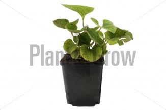 Brunnera macrophylla | Kaukasisch vergeet-mij-nietje (pot 9x9cm) - NAJAAR