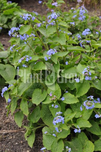 Brunnera macrophylla   Kaukasisch vergeet-mij-nietje