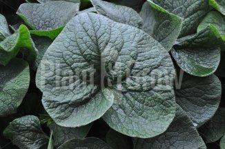 Brunnera macrophylla | Kaukasisch vergeet-mij-nietje - close up van het blad
