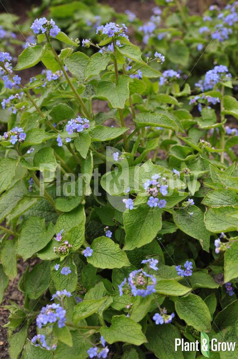 Brunnera macrophylla | Kaukasisch vergeet-mij-nietje