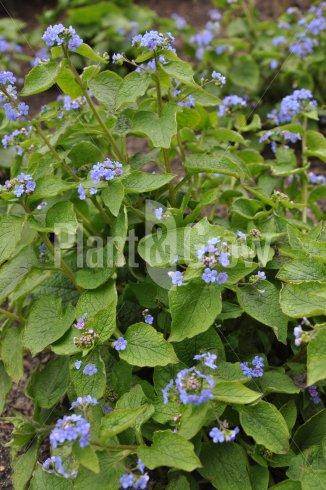 Brunnera macrophylla | Kaukasisch vergeet-mij-nietje - bloem