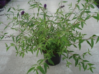 Buddleja davidii 'Black Knight' | Vlinderstruik (12L pot)
