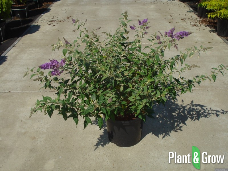 Buddleja davidii 'Blue Chip' | Vlinderstruik (12L pot)